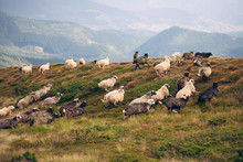 Flock Of Sheep In The Carpathi...
