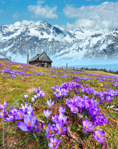 Fototapeta Purple Crocus flowers on spring mountain obraz