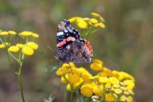 Schmetterling (Admiral, Lat. V...