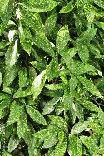 Fotografiet Aucuba japonica plant