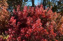 Autumn Color Leaves Of Cotinus Coggygria.