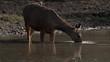 Sambar Deer Drinking Water Ranthambore India