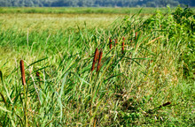 Cattail Growing Near The Rice Field. Thickets Of Cattail. Brown Basket With Seeds