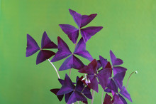 Oxalis Triangularis Flower, Pu...