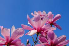 Pink Magnolia Blossom Against ...