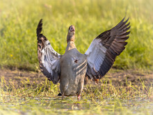 Egyptian Goose Flying Off