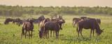 Fototapeta Sawanna - Blue Wildebeest herd grazing