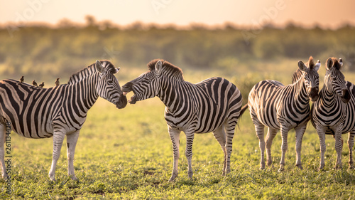 Four Common Zebra grooming on savanna Canvas Print