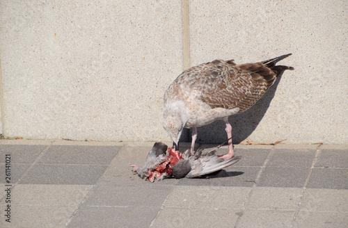 Fotografie, Obraz  seagull is eating a dead dove. Seagull is a predator.