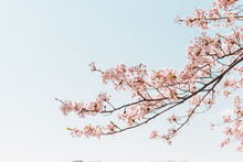 Pink Cherry Blossom Or Sakura Flower With Blue Sky In Spring Season At Japan