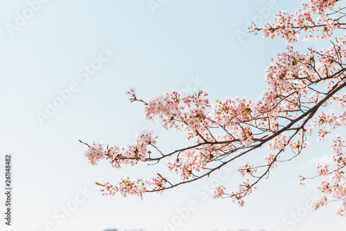 Ingelijste posters Bomen Pink Cherry blossom or sakura flower with blue sky in spring season at Japan