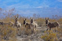 Wild Burros Looking Forward