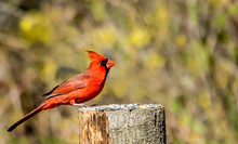 Red Northern Cardinal With Yellow Flower Background