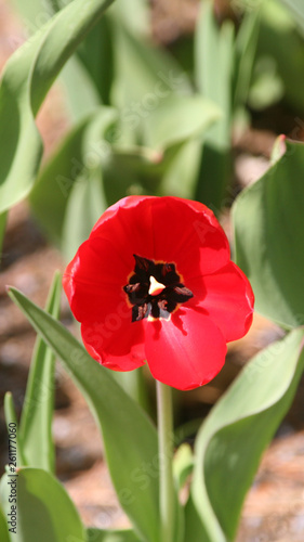 Photo  red tulip on green background