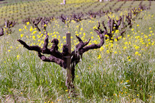 Zinfandel Plant  And Flowers In The Field In Winter