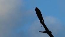 Yellow-tailed Black Cockatoo (...