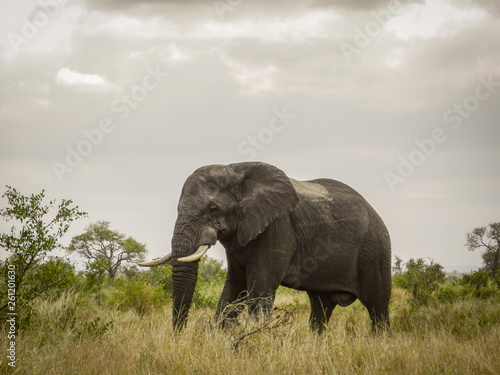 Photo  African Elephant after Summer Storm