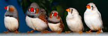 Beautiful Bird, Zebra Finch (T...