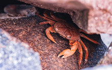 The Red Crab Hiding In The Rock