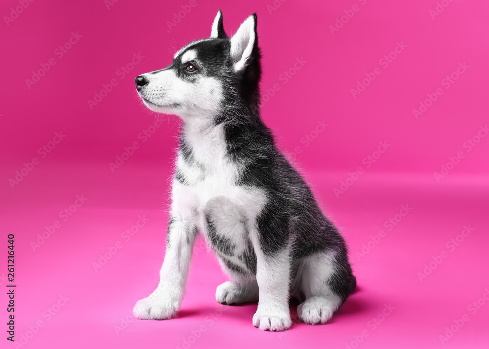 Fototapety, obrazy: Cute Husky puppy on color background