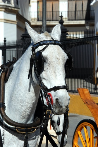 Fotografiet  White horse with bridle at the front of a carriage, Seville, Spain