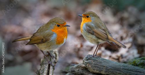 Obraz na plátně Red Robin (Erithacus rubecula) birds close up in a forest