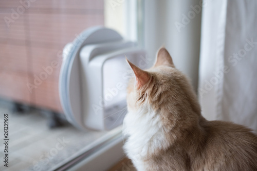Fotografía  fawn cream tabby maine coon cat next to cat flap in window