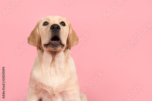 Poster Hond Cute labrador retriever puppy with mouth open as if its is speaking on a pink background