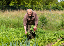 Elderly Man With Freshly Picke...