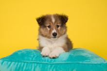 Cute Shetland Sheepdog Puppy L...