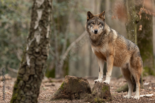 Tuinposter Wolf Grey wolf in the forest