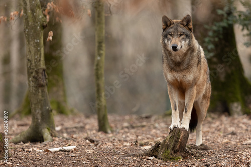 Photo sur Toile Loup Grey wolf in the forest