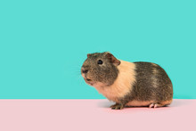Smooth Haired Guinea Pig On A Pink And Blue Background