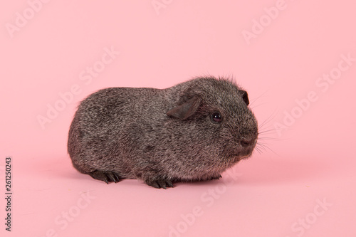 Photo Agouti grey guinea pig seen fromt the side on a pink background