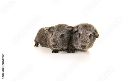 Two agouti grey guinea pig on a white background Wallpaper Mural