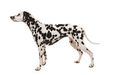 Standing Dalmatian Dog Isolated On A White Background Seen From The Side