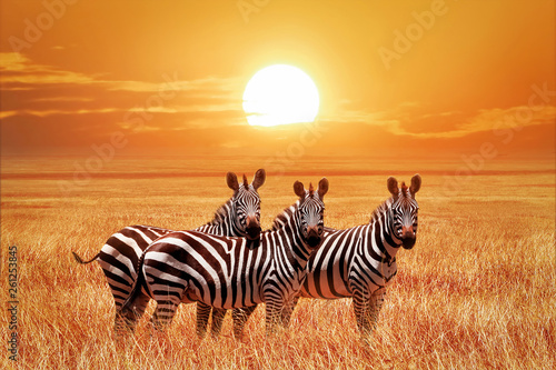 Recess Fitting Zebra African zebras at sunset in the Serengeti National Park. Tanzania. Wild nature of Africa.