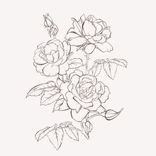 Sketch Floral Botany Collection. Rose Flower Drawings. Black And White With Line Art On White Backgrounds. Hand Drawn Botanical Illustrations.