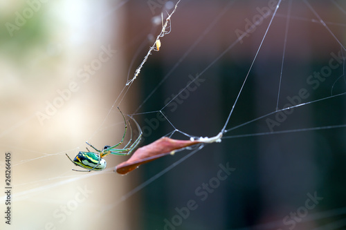 Photo Macro photography of the beautiful orchad garden spider hanging from its web near a dried leaf, in a garden at the Andean mountains of central Colombia