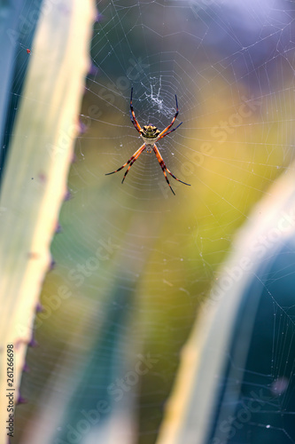 Fotografie, Obraz  Macro photography of a silver argiope spider hanging from its web between two agave americana leaves