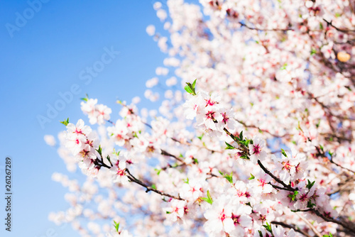 Photo Almond blossom in spring