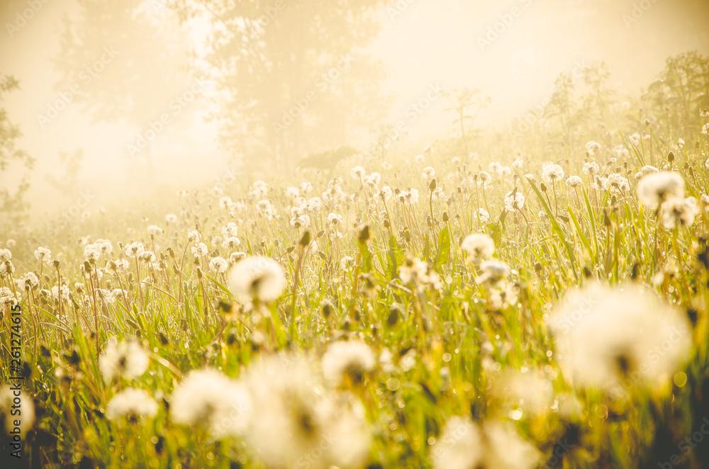 Fototapety, obrazy: early morning. forest hiding in the fog. dandelion.