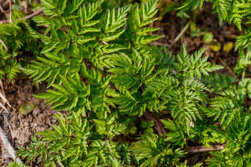 Green hemlock spotted plants (Conium Maculatum) Wallpaper Mural