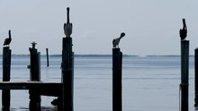 Pelicans Sitting On Poles At Marina - Captiva Island Florida