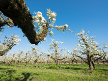 Pear Trees Blossom In Spring U...