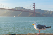 Seagull Standing In Front Of Golden Gate Bridge, San Francisco, California, Usa