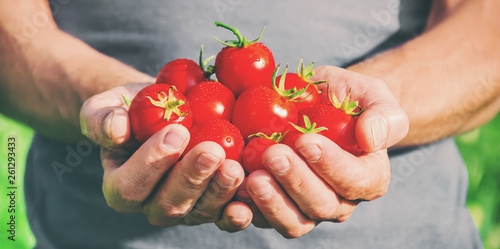 A man is holding homemade tomatoes in his hands. selective focus
