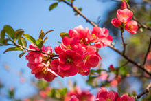 Japanese Quince Flowers. Chaen...