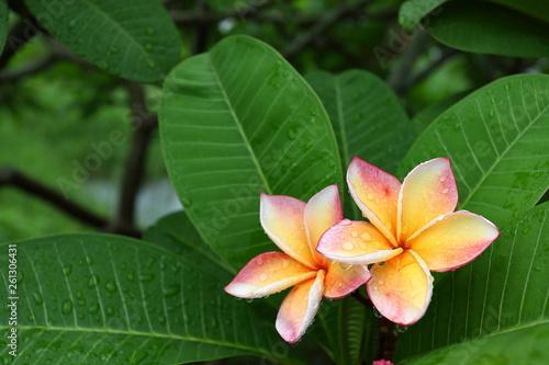Fototapeta beautiful frangipani perfume flower with water rain drop on petal in rainy morni