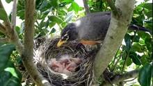 American Robin Feeding Her You...
